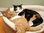 152962428-cats-for-allergy-sufferers-632x475