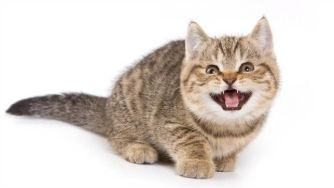 cat-meows